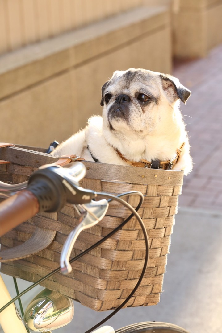 Pug+Peterborough+basket